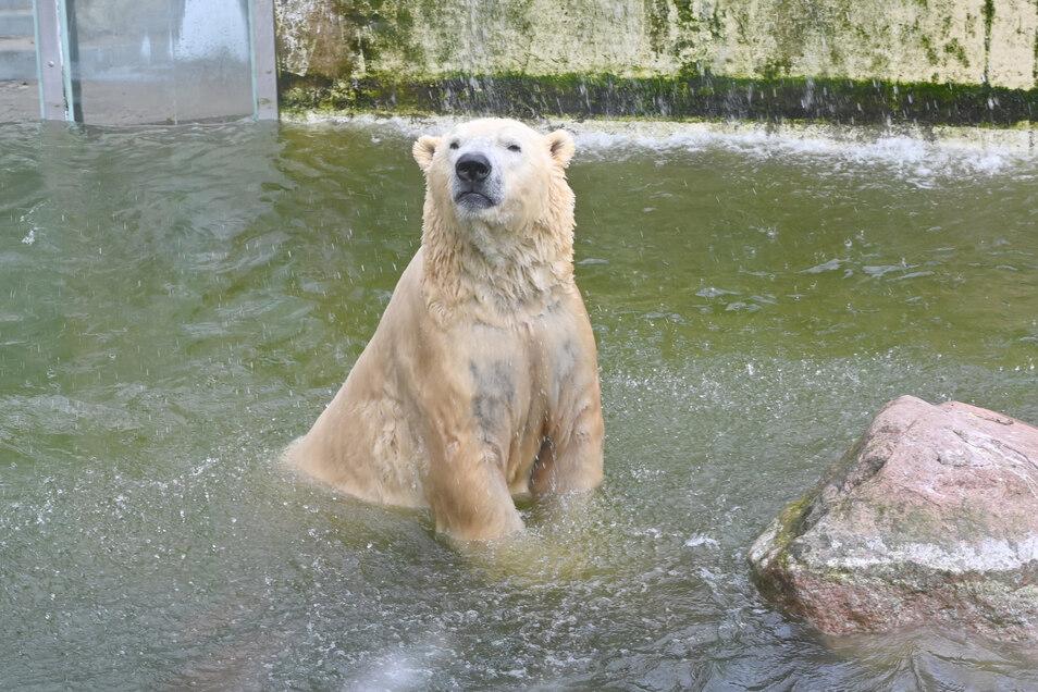 Eisbär Vitus schwimmt in seinem Becken in Neumünster.