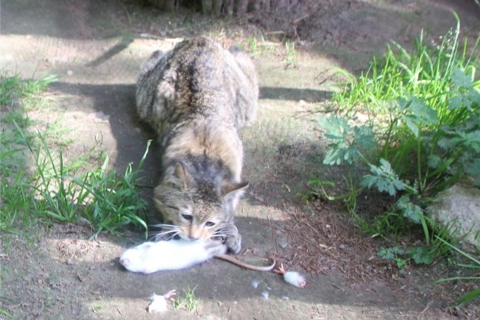 In diesem Jahr wird der Wildkatze – von denen drei im Wildpark leben – eine besondere Ehre zuteil.