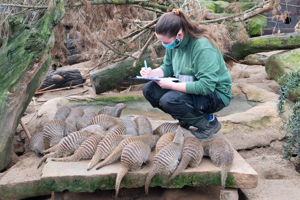 Trotz viel Gewusel konnte Tierpflegerin Annka Lewertoff bei der Jahresinventur die Zebramangusten zählen.