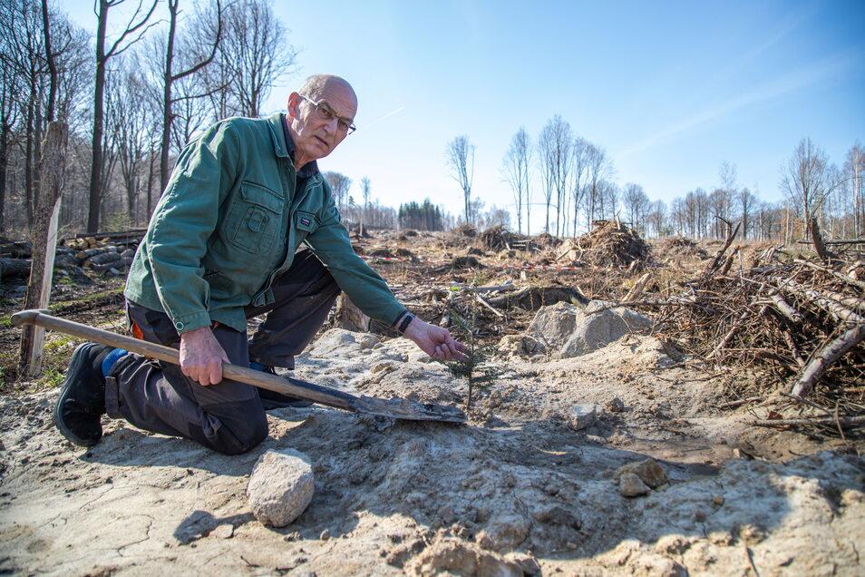 Ekkehard Kießling ist Besitzer von 48 Hektar Wald in den Kämpferbergen bei Köningshain. 600 Jungtannen haben er und seine Familie bereits in den Boden gebracht. Der 50-jährige Altbestand ist fast verschwunden.