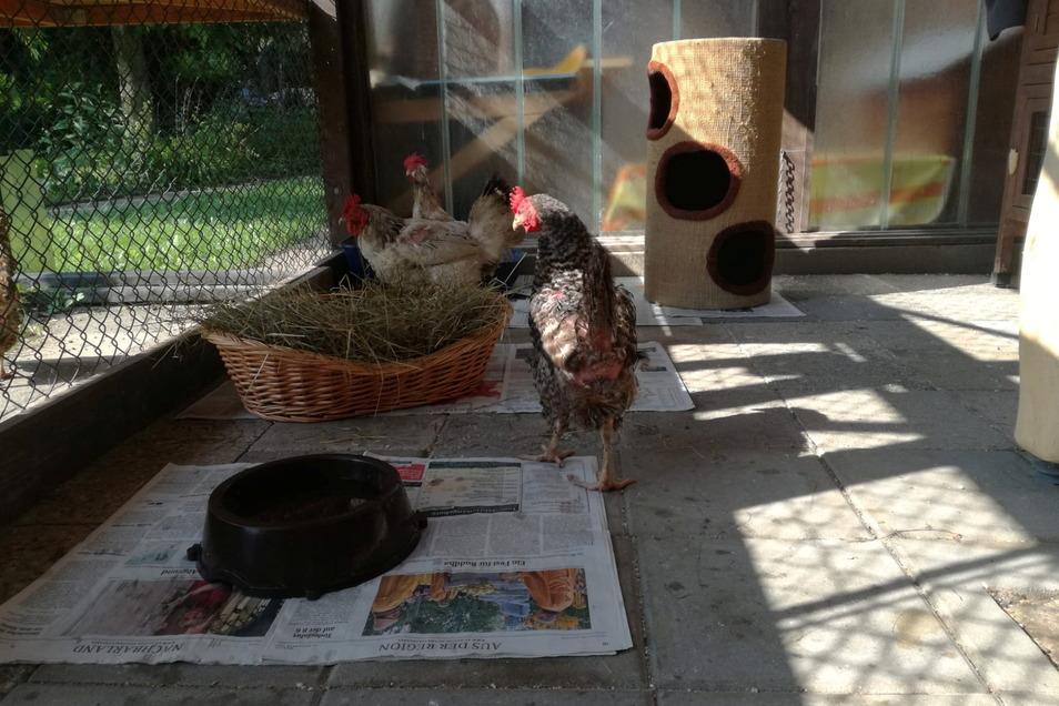 Diese Hühner wurden bei Liebstadt ausgesetzt. Insgesamt waren es sieben.