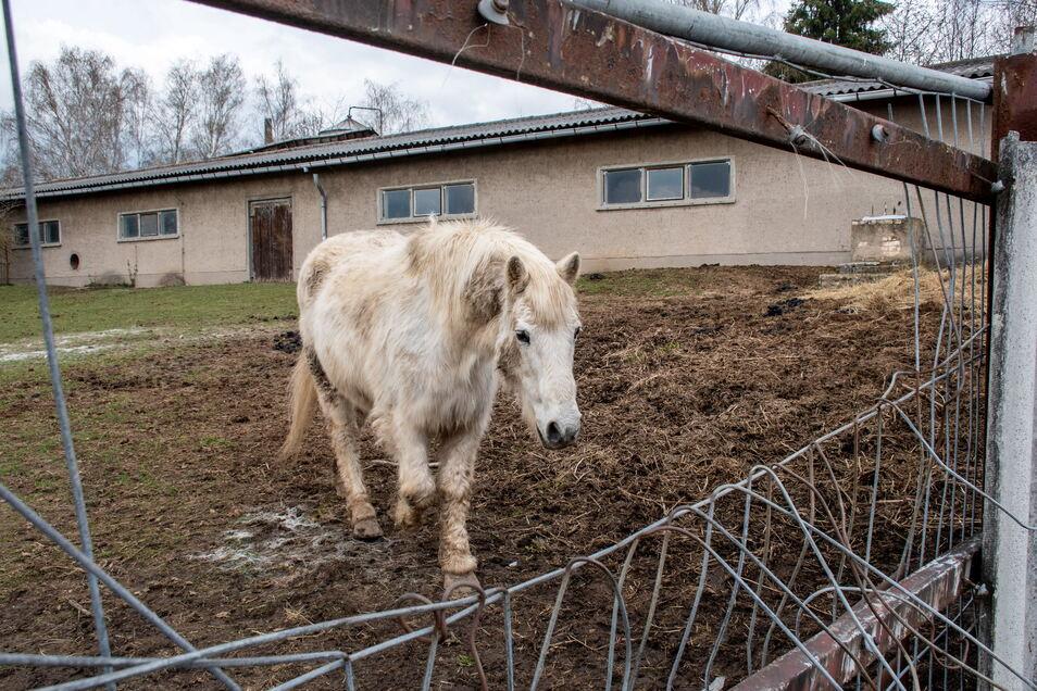Um den Zustand der Pferde am Stadtgut in Greußnig gab es Diskussionen im Netz. Nach Darstellung des Landratsamtes ist an der Haltung nichts auszusetzen. Das Veterinäramt hatte diese schon einige Male kontrolliert.