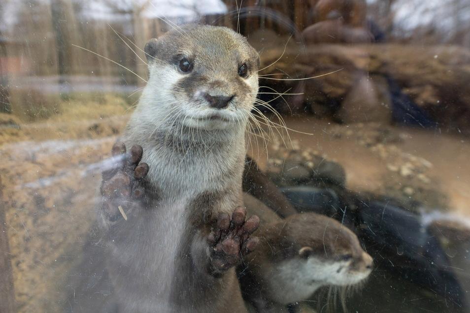 Im Zoo Dresden (Foto) gibt es sie schon länger - nun hat sich auch der Riesaer Tierpark Zwergotter zugelegt.