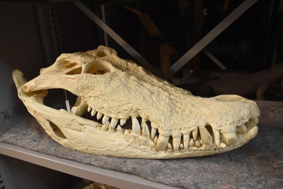 Der Schädel von Max, dem Leistenkrokodil aus dem Dresdner Zoo, lagert ebenfalls in der großen Sammlung, deren Kurator Raffael Ernst ist.