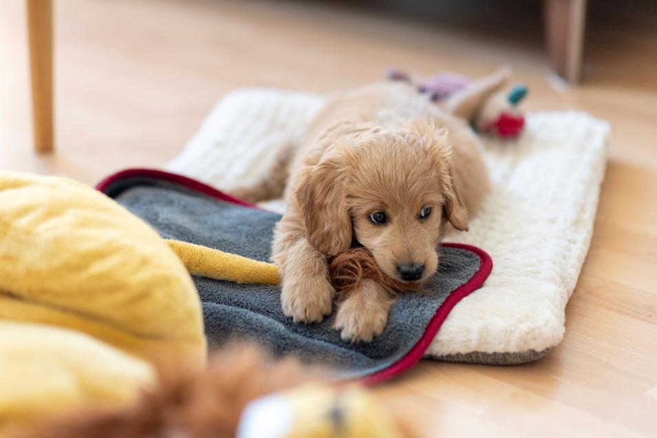 Stören Kabel? Teppiche? Auch Schuhe müssen weg. Bevor ein junger Hund einzieht, sollte das Wohnreich auf Welpentauglichkeit getestet werden.