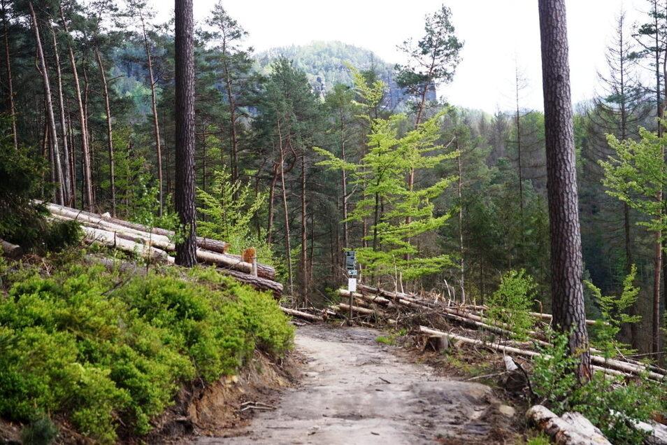 Malerweg im Bereich des Arnstein: Auf diesem Abschnitte wurde der für den Tourismus bedeutendste Wanderweg in der Sächsischen Schweiz freigeschnitten. Anderswo gilt eine Umleitung.
