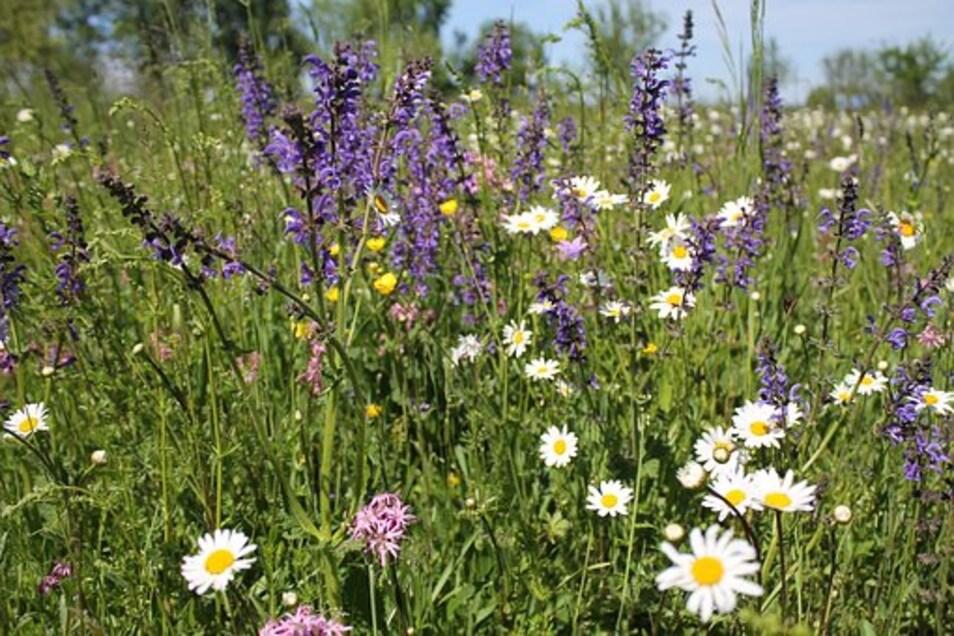 """im Rahmen der Initiative """"Sachsen blüht"""" ruft der Sächsische Landtag Privatleute dazu auf, Blühwiesen für Schmetterlinge anzulegen. Grund dafür ist das zunehmende Schmetterlingssterben."""