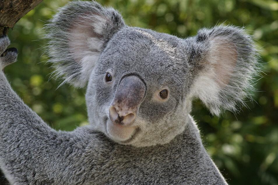 Das Koala-Männchen Iraga aus dem Dresdner Zoo litt unter einer schweren Krankheit, die auch bei wild lebenden Tieren vorkommt.