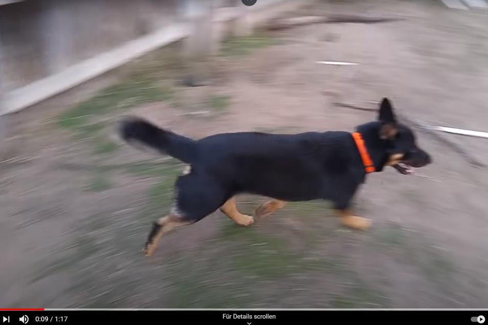 Bei diesem Hund in einem Youtube-Video soll es sich um einen Schäferhund-Rottweiler-Mix handeln. Auch ein Riesaer besitzt so einen Mischling – und versuchte mit ihm offenbar, Polizeibeamte einzuschüchtern. Das hat für den 32-Jährigen eine Strafe zur