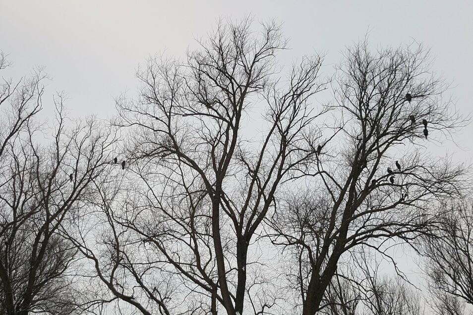 Ein Dutzend Kormorane hat sich Bäume gegenüber der Tischbrücke in Zgorzelec als Schlafplatz ausgesucht.