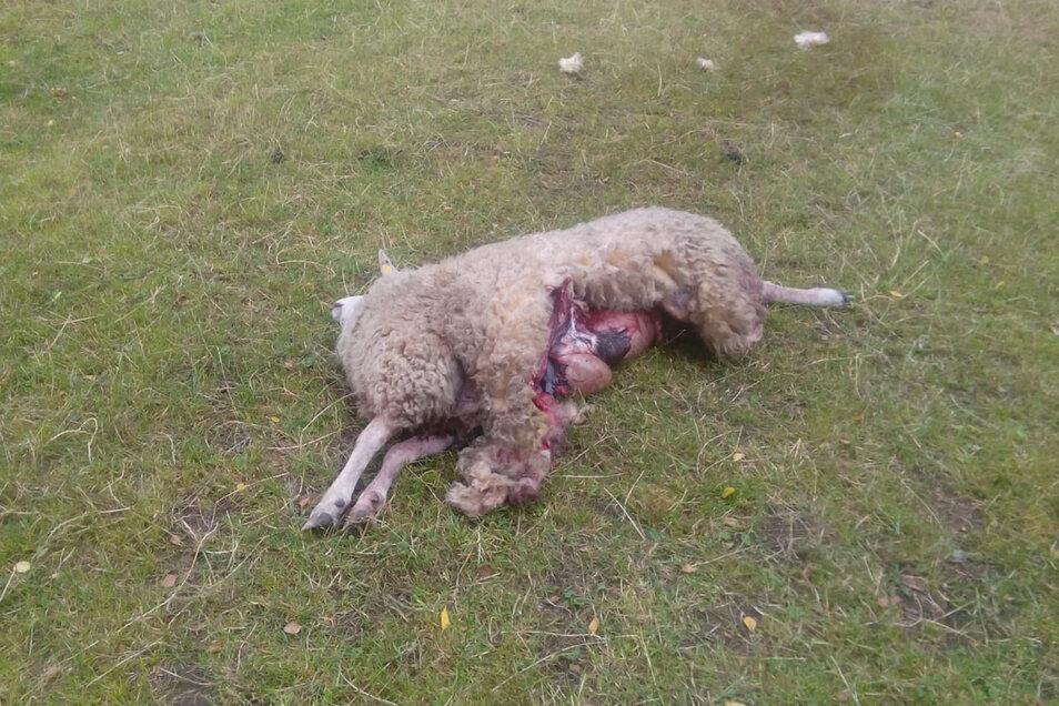 Das getötete Schaf von Robert Päperer wurde teilweise ausgeweidet.
