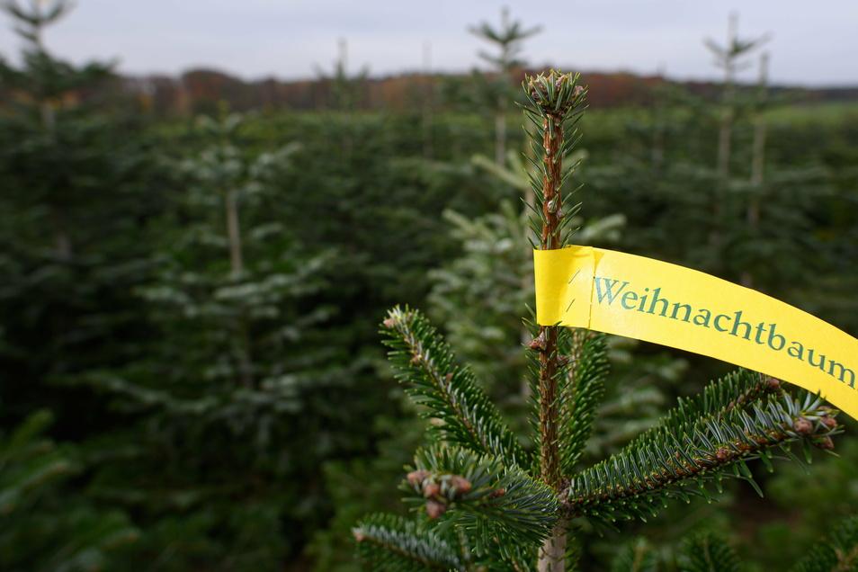 Der Lieblingsbaum der Deutschen: Nordmanntannen stehen auf einer Weihnachtsbaumplantage bei Thiendorf.