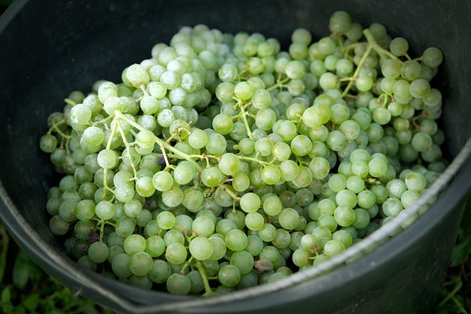 Die Ausbeute an Johanniter-Weißwein am Lehrweinberg ist dieses Jahr besonders üppig ausgefallen.