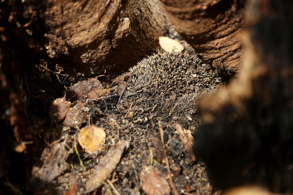 In dem Baum hatte auch ein Igel überwintert, der wohl wegen des Feuers starb. Die Staatsanwaltschaft sah allerdings keinen Grund zu der Annahme, dass die jungen Zündler davon wussten.