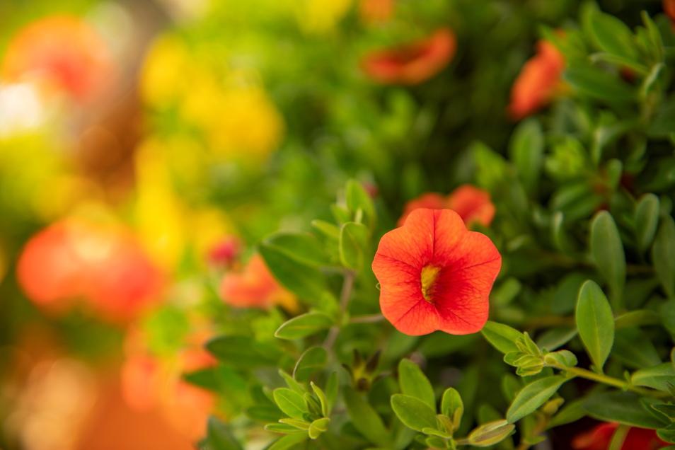 """Sehr beliebt für Balkon- und Kübelbepflanzungen sind die farbenprächtigen """"The Million Balls"""". Die Zwergpetunie bevorzugt es warm und sonnig."""