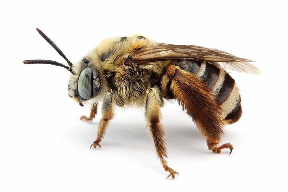 In Meißen wurde mit der Flockenblumen-Langhornbiene eine ausgestorbene Wildbienenart wieder entdeckt.