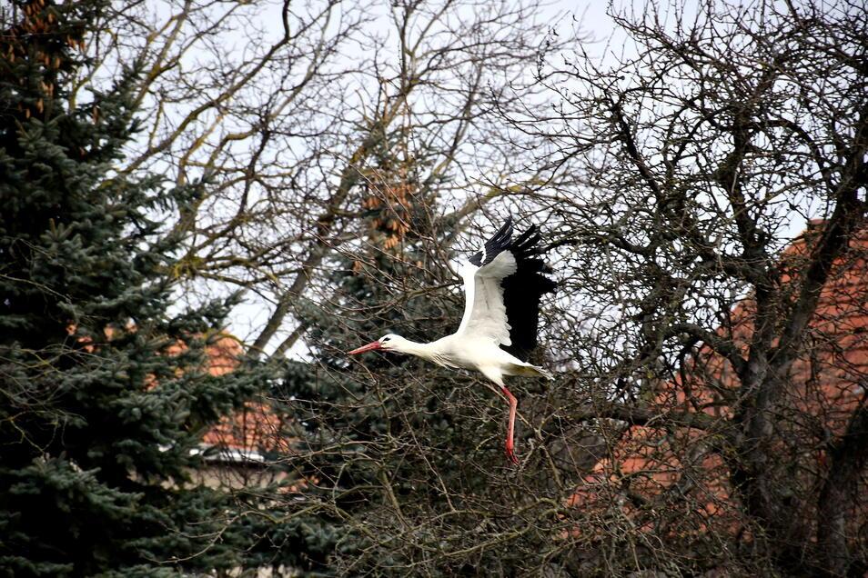 Er ist wieder da: Noch zeitiger als bisher ist der Bärwalder Storch in sein Nest auf dem alten Schonstein zurückgekehrt. Nun wartet er auf seine Partnerin.