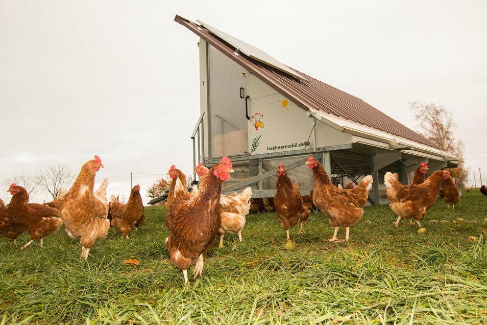 In einem Hühnermobil leben 200 Legehühner. Sie sind das ganze Jahr über an der frischen Luft.