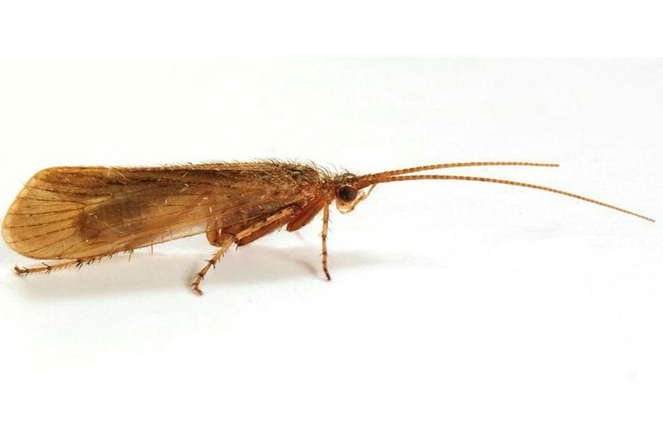 Das von Buglife zur Verfügung gestellte undatierte Foto zeigt eine Köcherfliege (Limnephilus Pati).