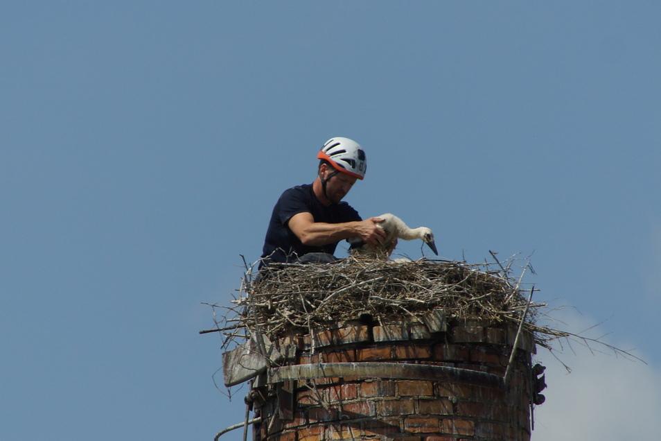 Storchenexperte Kai Schaarschmidt hat die ersten Döbelner Jung-Störche in luftiger Höhe beringt.