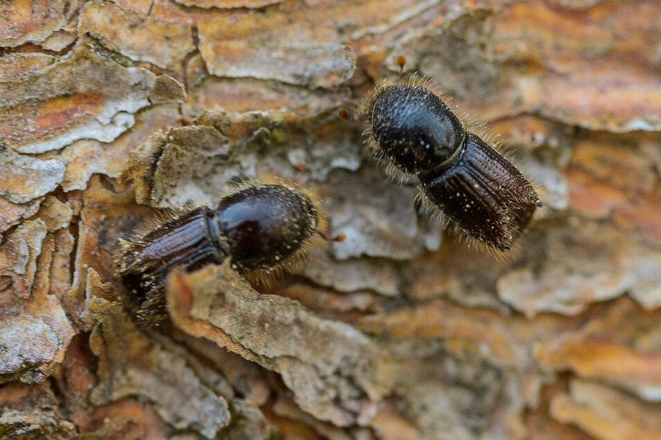 Rapide Vermehrung: Borkenkäfer, auf der Rinde einer Fichte. In vielen Wäldern richten die Insekten enorme Schäden an.