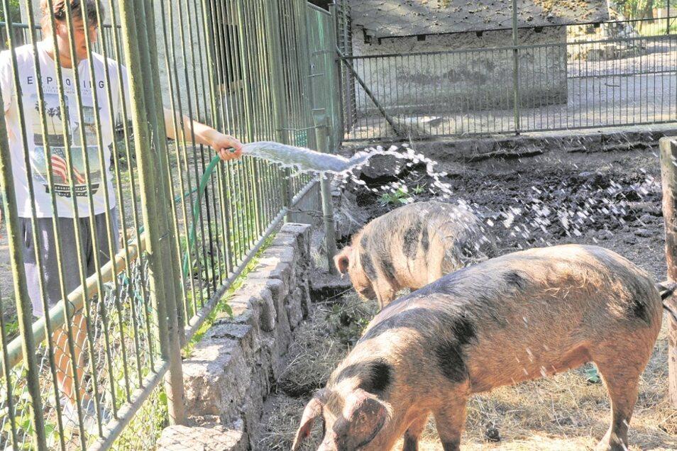 Wenn die Hundstage mit großer Hitze kommen, ist man im Tierpark Weißwasser gerüstet – wie im vorigen Jahr, als Praktikant Ben Gebler den Bunten Bentheimer Schweinen mit dem Wasserstrahl eine willkommene Abkühlung bescherte.