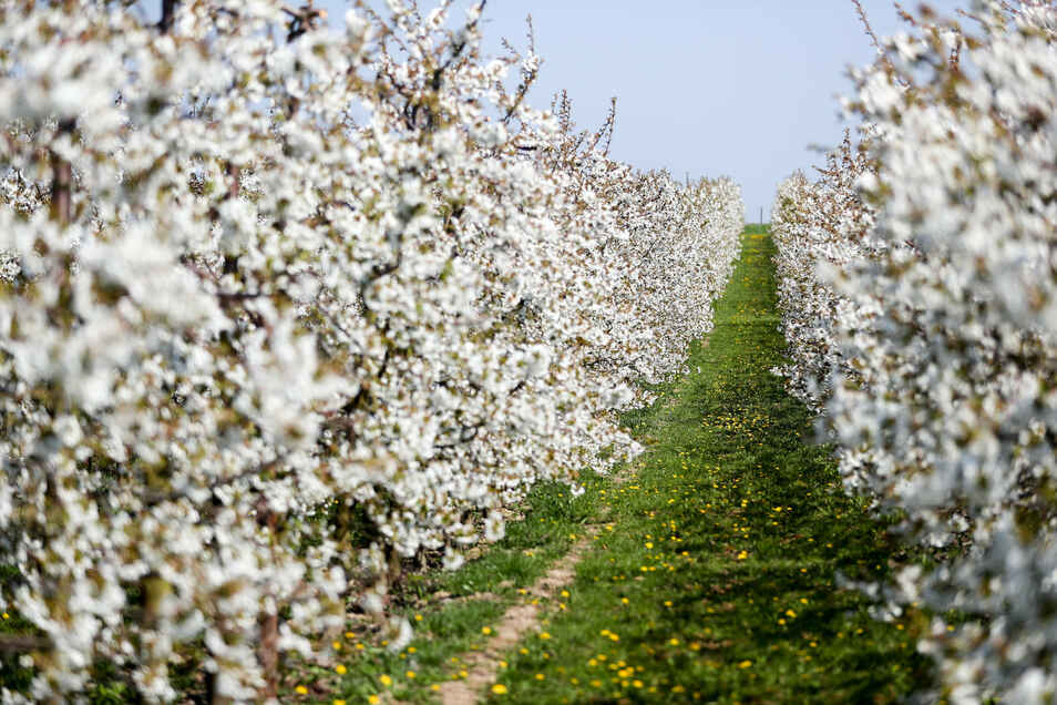 Sauerkirschen blühen auf dem Gelände der Obstland Dürrweitzschen AG in Sornzig.