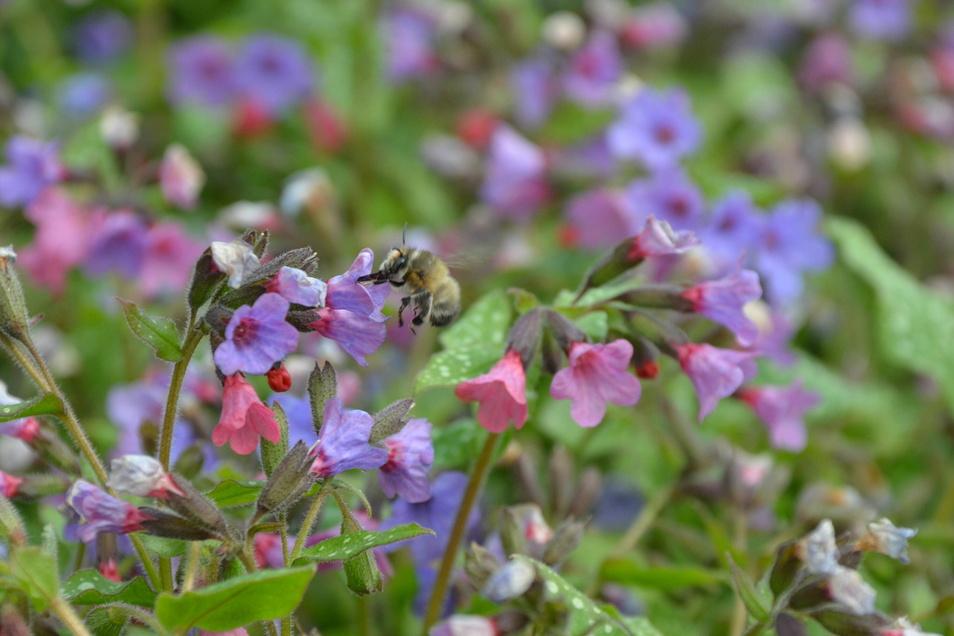 Im Lungenkraut-Beet finden die Bienen Nektar.