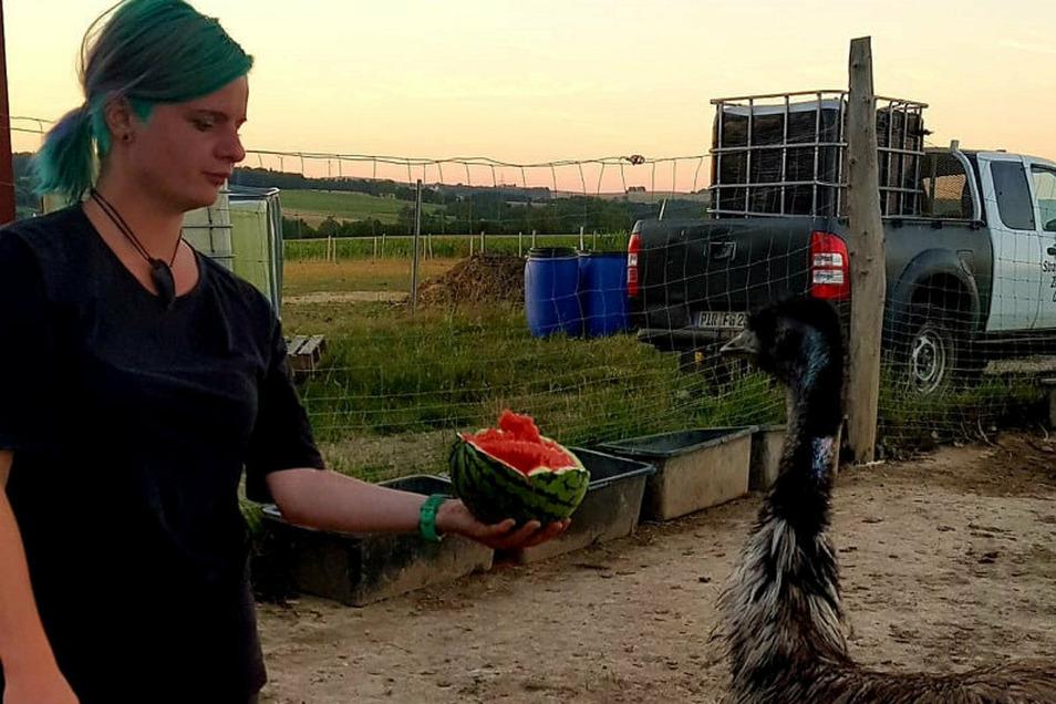Jetzt gibt es leckere Melone: Janine Golla füttert auf der Straußenfarm Helmsdorf bei Stolpen den Emu Elmo. Seit fünf Monaten lebt der Laufvogel dort, und geht es nach der Chefin, soll das auch so bleiben.