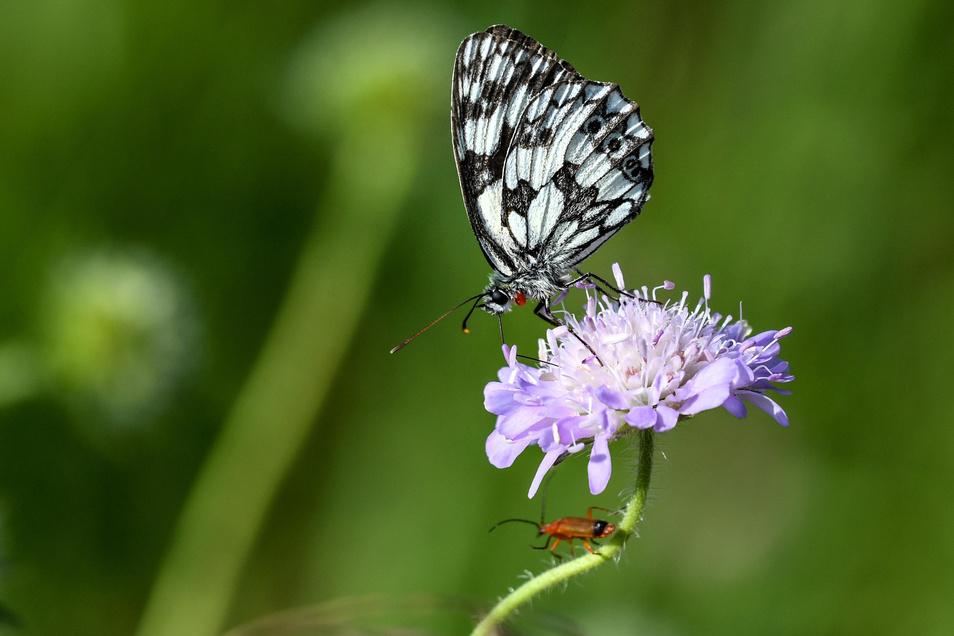 Ein Schachbrettfalter und ein Käfer sitzen auf einer Blume.