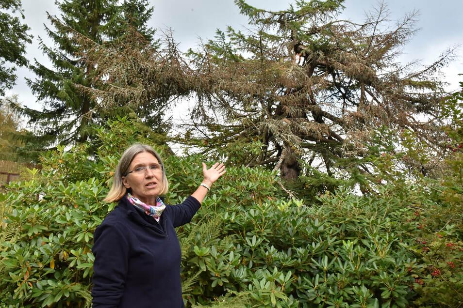 Annette Zimmermann, Leiterin des Botanischen Gartens in Schellerhau, zeigt auf die Kurilen-Lärche, die ihre Nadeln bereits verloren hat - wegen Trockenheit.