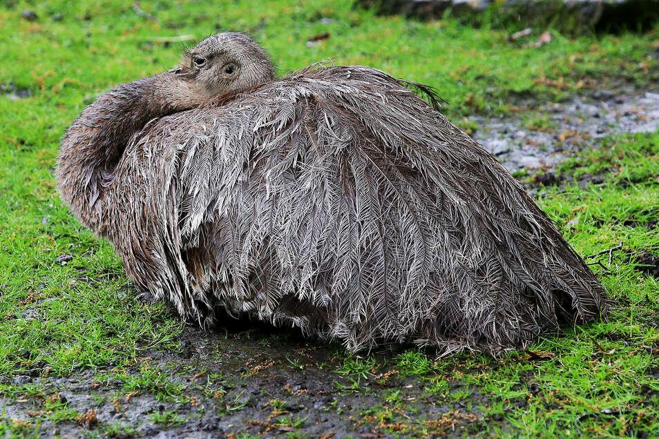 Bei den Nandus übernimmt der Hahn das Ausheben der Nestkühle, das Brüten und später auch die Aufzucht der Küken.