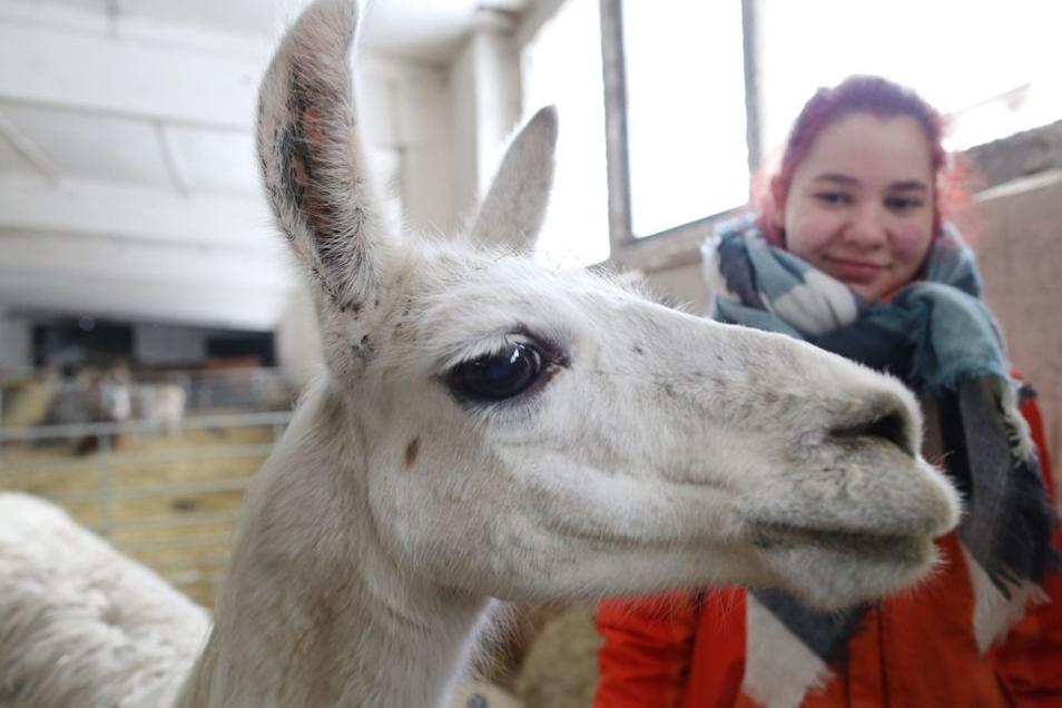 Zwei Lamas gehören zum Bestand des Vereins. FÖJlerinnen kümmern sich um die Tiere.