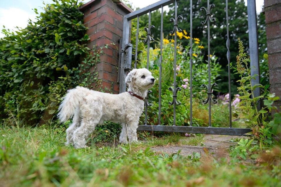 Ist ein Hund viel allein, kann ihn das verunsichern und er verbellt alles, was am Zaun vorbeikommt.