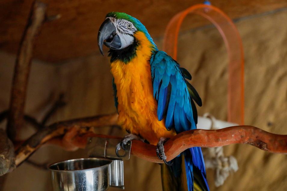 Gelbbrustara Willi begrüßt künftig die Zittauer Tierparkbesucher.