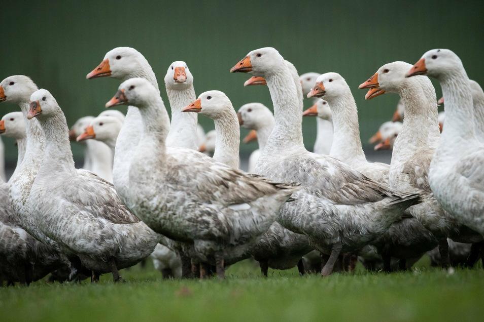 Nachdem im Landkreis Leipzig die Geflügelpest aufgetreten ist, müssen sich auch Tierhalter in Leisnig und Großweitzschen einschränken.