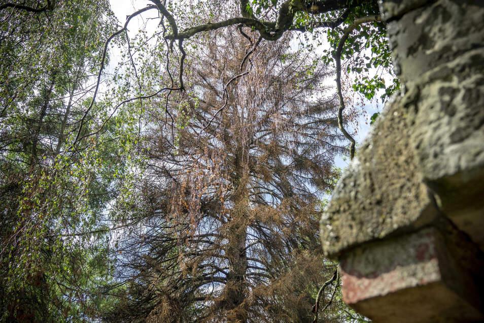 Die meisten Nadelbäume auf dem ehemaligen Oberfriedhof, der heute eine städtische Parkanlage ist, sind abgestorben. Zur Trockenheit kommt der Borkenkäfer.