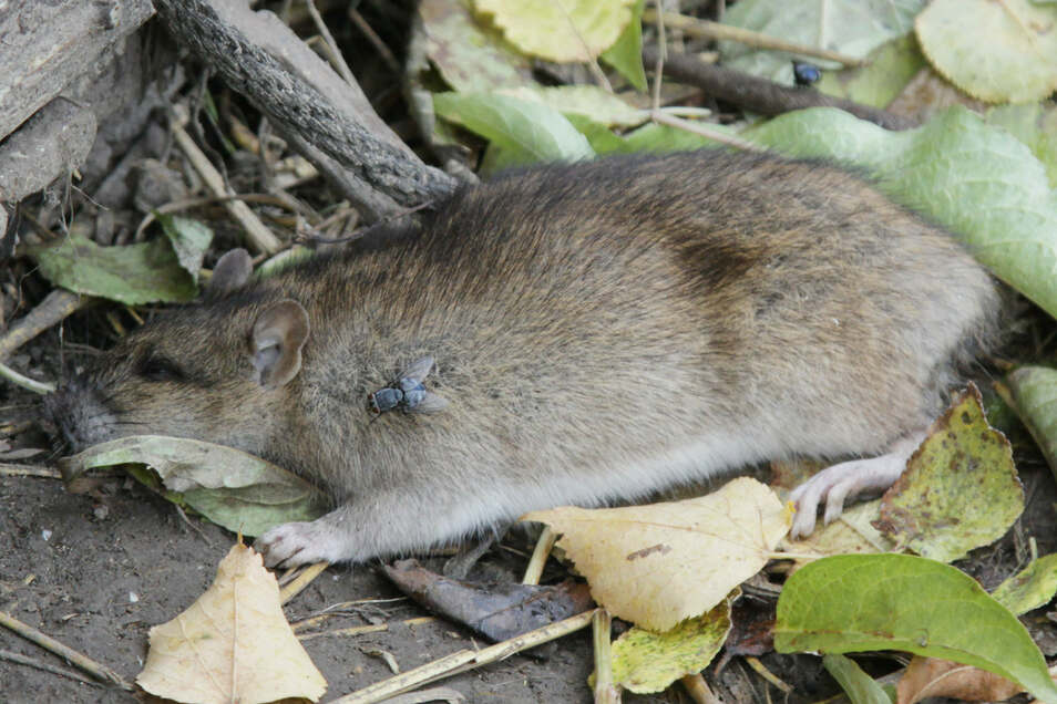 Unzählige Ratten bevölkern eine Gartenanlage neben dem Leisniger Bahnhof.