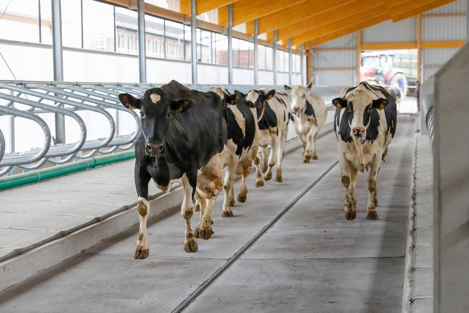 Hunderte Kühe laufen in den neuen Stall ein.