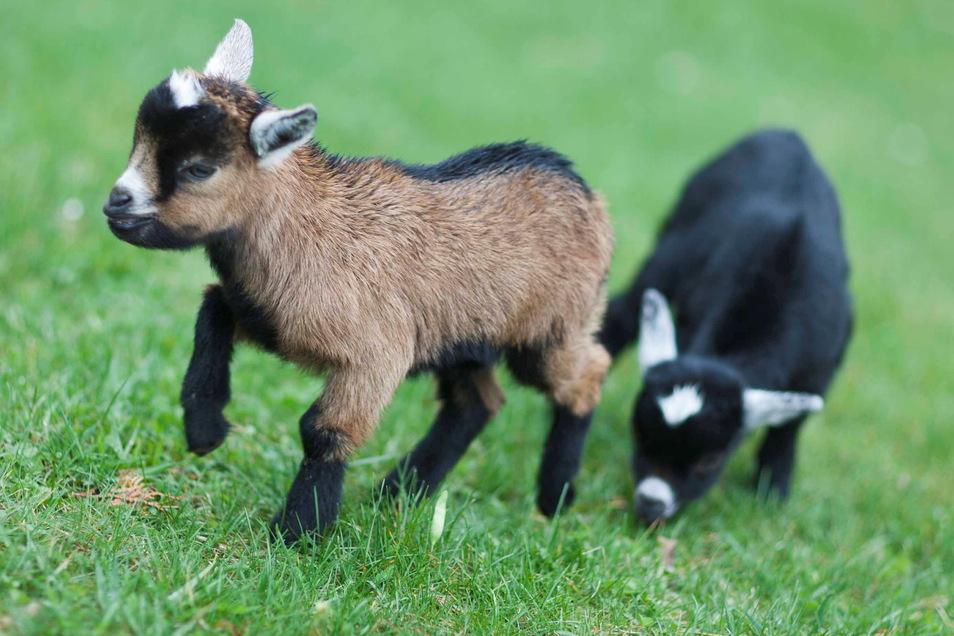Die Zwergziegen gehören seit vielen Jahren zu den Lieblingstieren der Kinder im Tierpark Strehla.