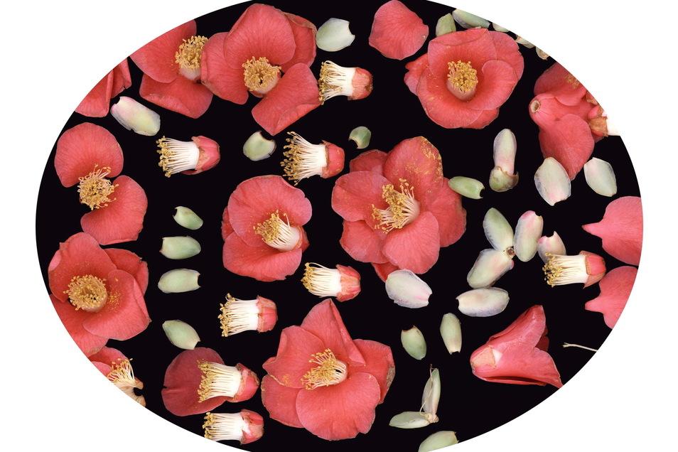Luzia Simons fertigte in diesem Frühjahr zauberhafte Scans von Blüten der Pillnitzer Kamelie.