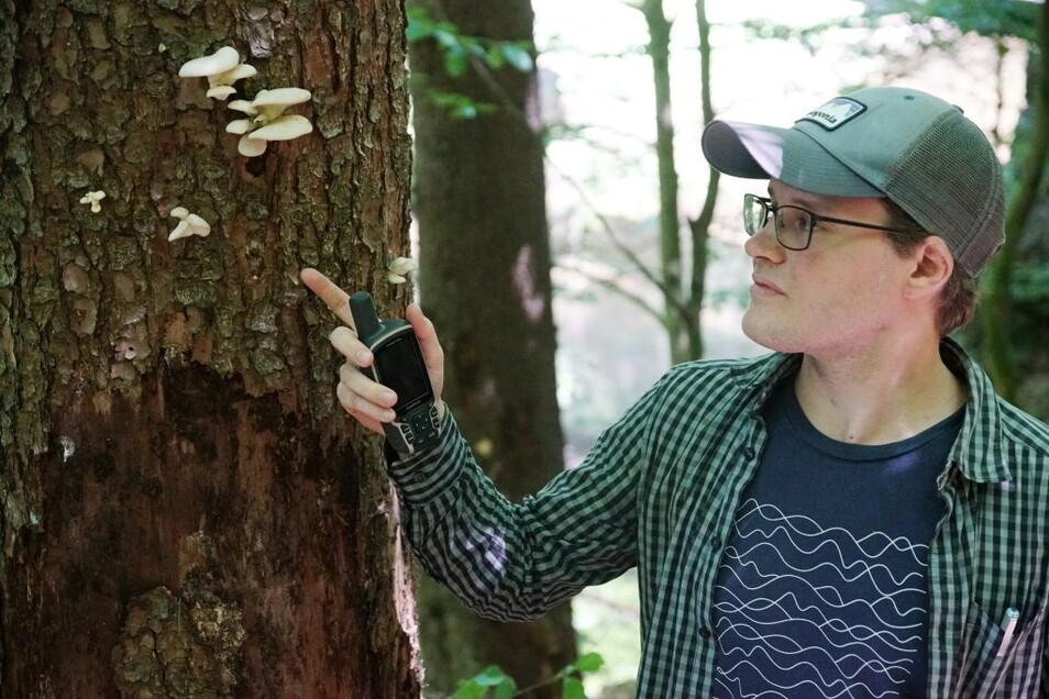 Forstreferendar Florenz Klein unterstützt die Nationalparkverwaltung bei der Waldanalyse. Pilzbefall wie durch diese Seitlingsart deutet auf innere Zersetzung des Stammes hin.