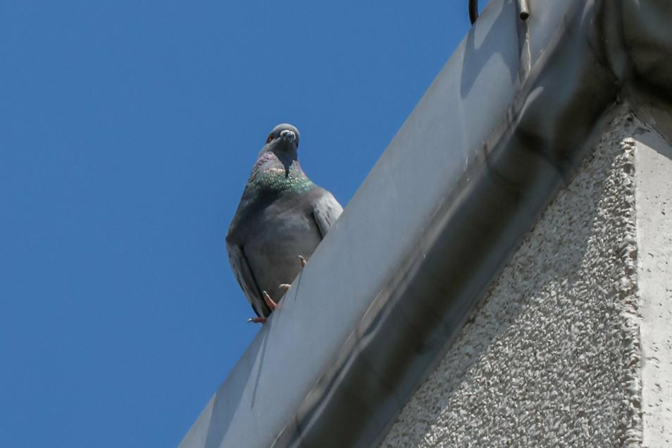 Da guckt sie! Eine verwilderte Haustaube auf dem Dach eines Plattenbaus in der Olbersdorfer Grundbachsiedlung.