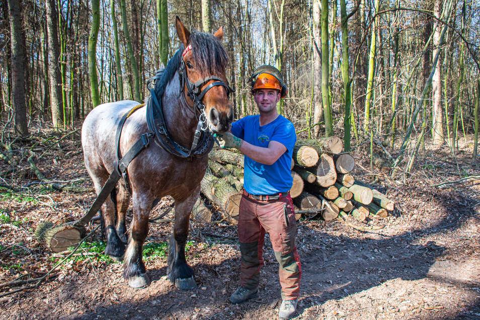 Dietmar Dietze hat mithilfe seines Holzrückepferdes Anton gefällte Laubbäume im Wald bei Paudritzsch transportiert.