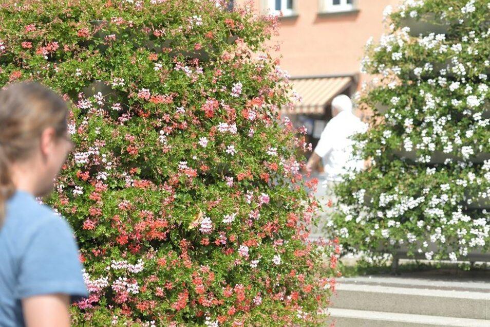 Noch bunt und frisch sehen hingegen die Blumen vor dem Kulturbahnhof in Radebeul-Ost aus. Hier wird regelmäßig gegossen.