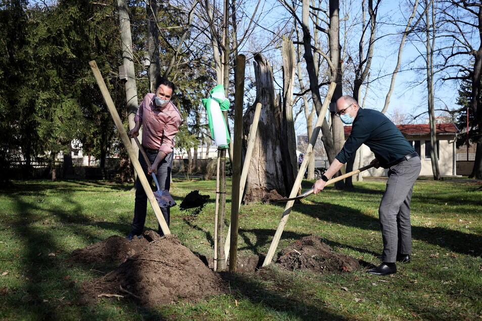 Feralpi-Werkdirektor Christian Dohr (r.) und Oberbürgermeister Marco Müller (l.) bei der Pflanzung im Schlosspark Gröba. Es ist der vierte Standort für die junge Esskastanie.