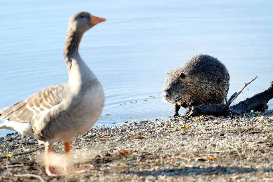 Als invasive Art aus Nordamerika vermehrt sich der Nutria in Deutschland rasant. Das liegt unter anderem daran, dass Menschen sie gern füttern, genauso wie die Enten.