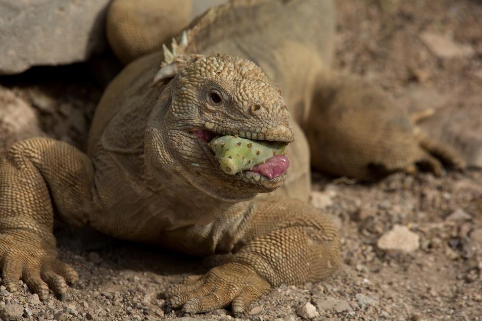 Die nächsten Verwandten der Galapagos-Landleguane leben auf der Yucatán-Halbinsel, von der über die Strände der Karibik nur ein sehr weiter Weg zu den Galapagos-Inseln führt.