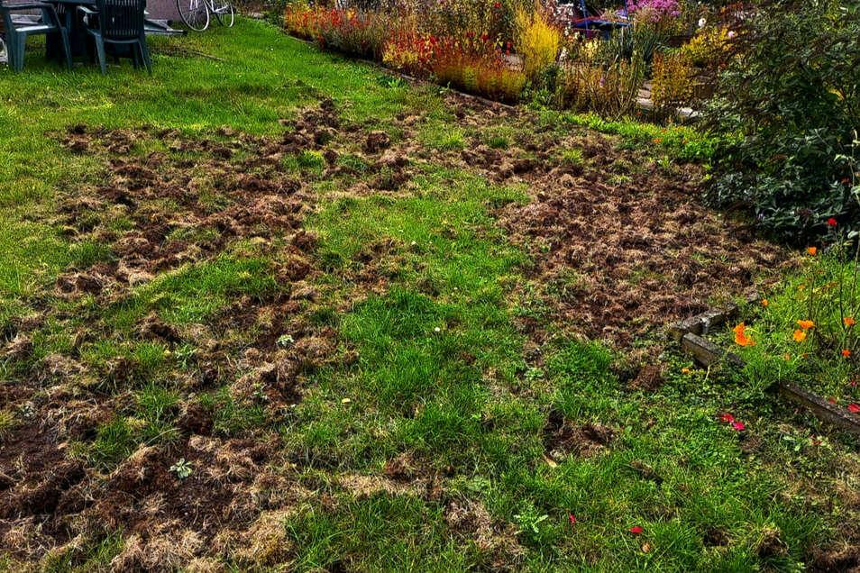 """""""Größere Flächen ramponiert."""" Ein Stück Wiese der Gartenanlage, das Waschbären auf Nahrungssuche umgepflügt haben."""