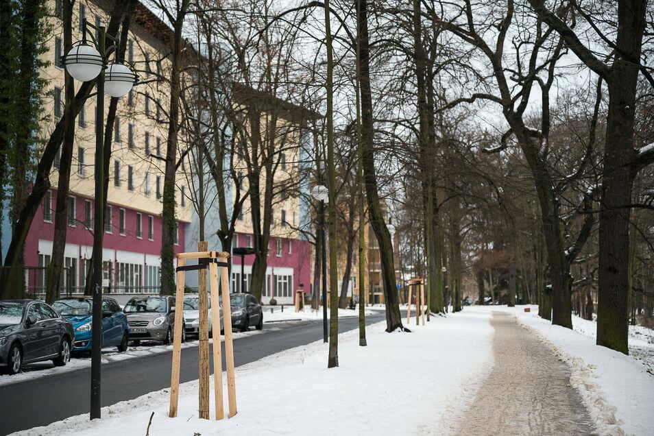 Zwischen dem Görlitzer Parkhotel und dem Neißeufer hat die Stadt vor kurzem insgesamt sechs neue Bäume gepflanzt.
